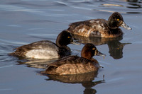 Lesser Scaup - male & female - winter plumage