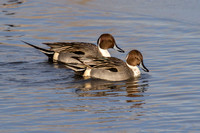Northern Pintails - tail up