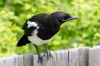 Immature Black-billed Magpie 2