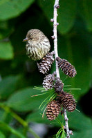 Pine Siskin on Larch Pine Cones -2