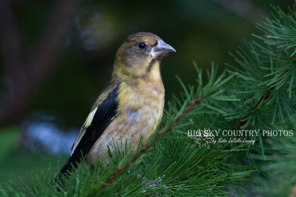 Evening Grosbeak in Western Larch -2