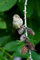 Pine Siskin on Larch Pine Cones