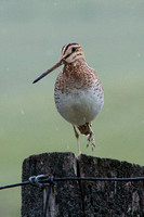 Wilson's snipe standing on one foot on a fence pole in falling rain