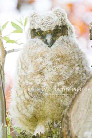 Great Horned Owl Fledgling -13