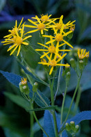 Rocky Mountain Butterweed