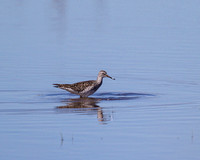 FOY Greater Yellowlegs