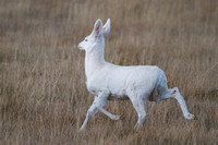 Albino Mule Deer - Galen Area - November 2013 -5