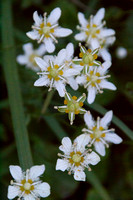 Fringed Grass-of-Parnassus 2