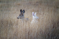 Albino Mule Deer - Galen Area - November 2013 -2