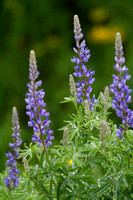 Tall Lupine 3