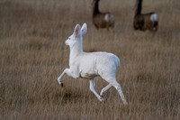 Albino Mule Deer - Galen Area - November 2013 -7