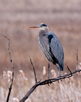 great blue heron perched on the branch of a fallen tree