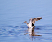 FOY Greater Yellowlegs 2