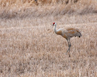 sandhill crane tossing a field mouse it caught