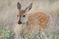 white tail fawn deer in spots