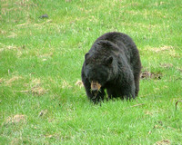 black bear eating green spring grass