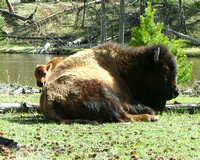 bison calf standing next to sleeping mother cow bison