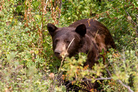 brown colored American black bear