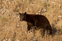 solid brown colored black bear
