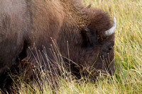 A bison grazes belly deep in tall mature late summer grass