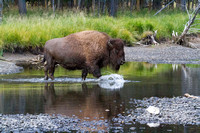 bison crossing the Yellowstone River at Buffalo Ford