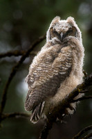 Great Horned Owlet May 12, 2015