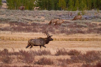 A bull elk patrols his harem at the Swan Lake Flats