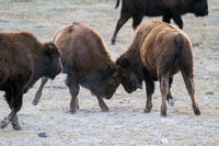 pair of juvenile bull bison sparring