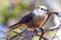 Gray Jay Camp Robber