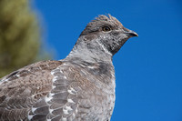 Ruffed grouse against blue sky