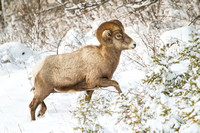 young bighorn ram in winter