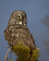Great Gray Owl - Georgetown Lake December 16, 2012 (9)