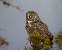 Great Gray Owl - Georgetown Lake December 16, 2012 (18)