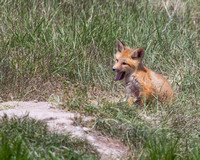 Yawning Fox Kit