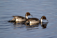 Northern Pintails - tail down