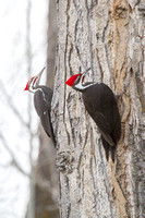 Pileated Woodpecker Dance