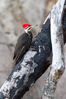 Pileated Woodpecker on Burned Trunk 2