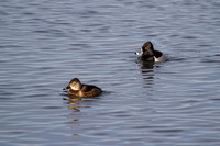 Ring-necked Ducks (female & male)
