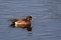 American wigeon - male - winter