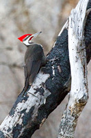 Pileated Woodpecker on Burned Trunk