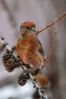 The plumage of a male red crossbill isn't solid red, but mottled red, orange and yellow