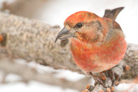 Red Crossbill (Male) Closeup