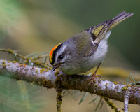 Golden-crowned Kinglet - Male 3