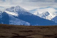 bison on a foothill ridge with the Mission Mountains in the background