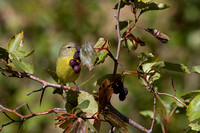 MacGillivray's Warbler - Fall Migration -4