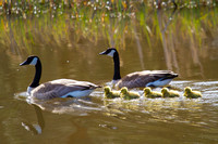 canada geese with goslings in parade