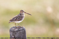 perched Wilson's snipe