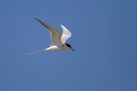 A Forster's tern in flight