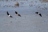 three black-necked stilts coming in for a landing