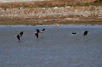 8 black-necked stilts arrive to join several others of their species as well as a couple American avocets